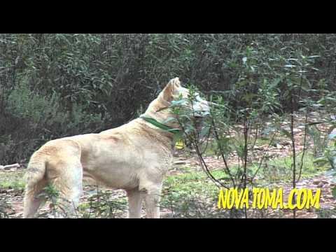 Vídeos Caza, MONTERIAS EN CASTILLA (parte 2). Hunting Video