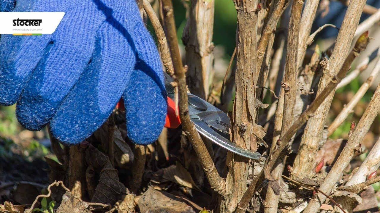 Come Curare Le Ortensie come potare l'ortensia - guida con consigli per la potatura