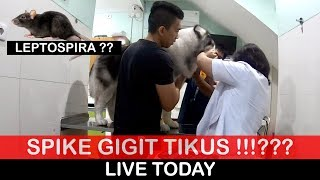 SPIKE GIGIT TIKUS !!! LEPTOSPIRA ???? LIVE TODAY