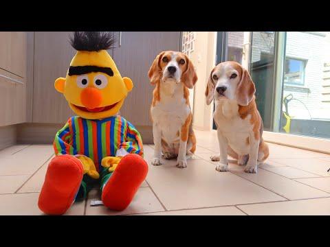 dogs-vs-bert-from-sesame-street-:-funny-dogs-louie-&-marie