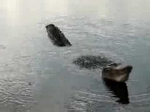 Alligator Territorial bellows