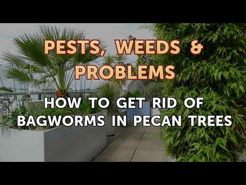 How to Get Rid of Bagworms in Pecan Trees - YouTube