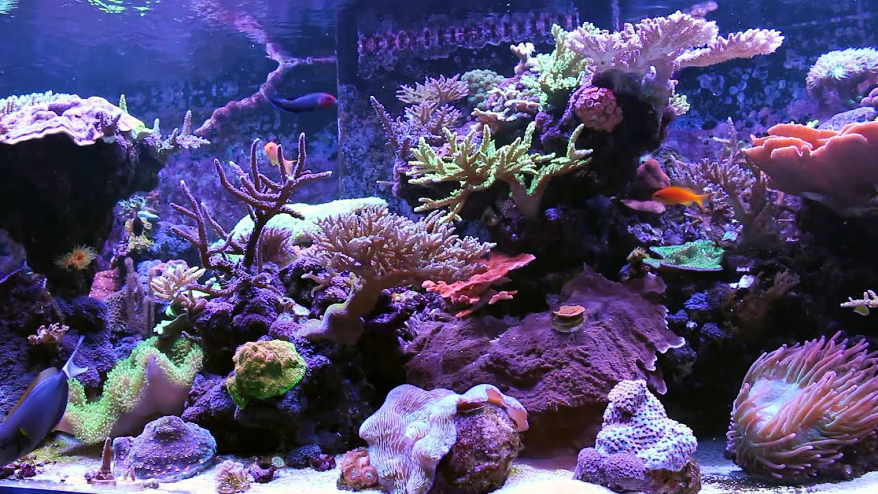300 gallon SPS with Kessil LED's