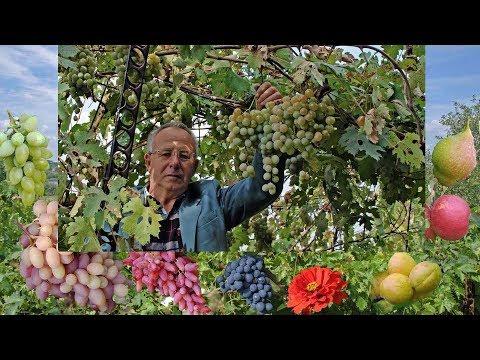 Начинающим виноградарям. Виноград для беседки 2017