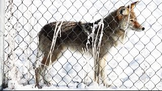 Coyote Hunting in Utah: New Bounty Program Has Hunters Excited | The New York Times