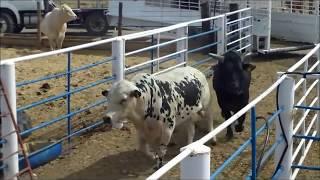 unloading bucking bulls