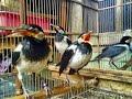 Tips Mencegah Stres Dan Macet Bunyi Pada Burung Jalak Suren  Mp3 - Mp4 Download
