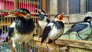 Tips mencegah stres dan macet bunyi pada burung jalak suren