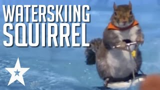 Twiggy The Water Skiing Squirrel Makes A Splash On America's Got Talent