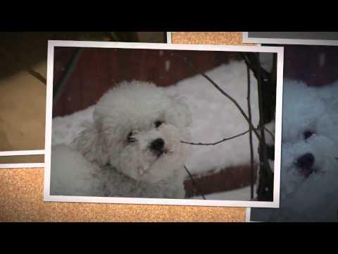 Pepsi the cute dog ( Bichon ) avicii levels mp3