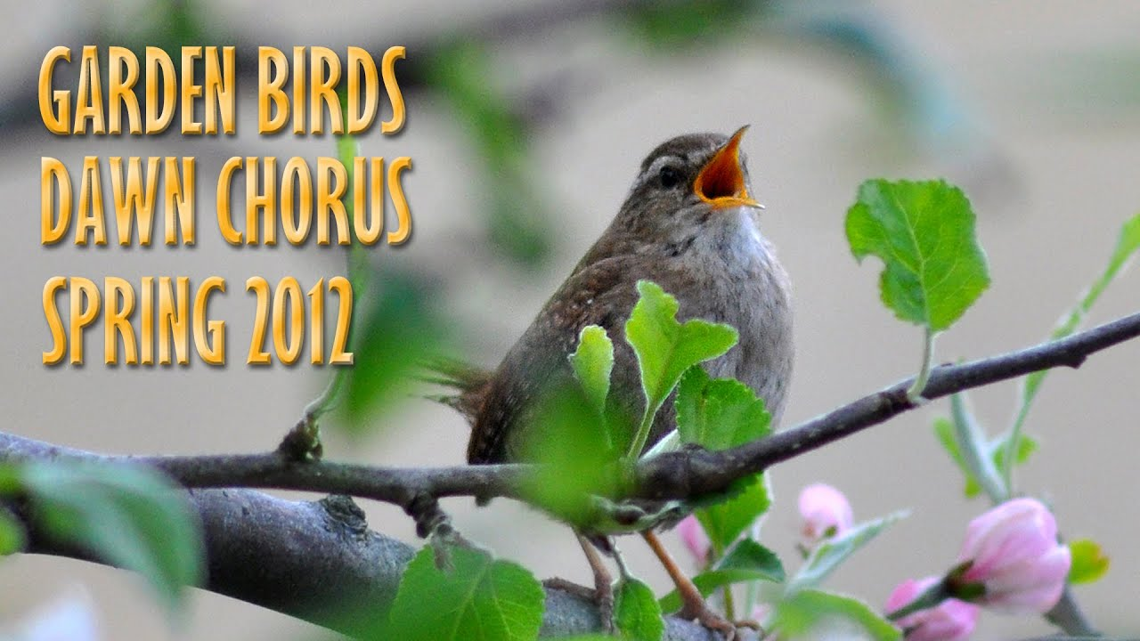 dawn chorus spring 2012 birdsong sound effects fx garden birds