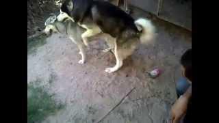 Repeat youtube video รับผสม สุนัข ทุกสายพันธ์