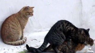 猫の交尾 その様子を見守る猫たちが可笑しい  Cat mating
