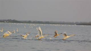 Как взлетают лебеди