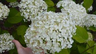 Hydrangea arborescens 'Incrediball' video