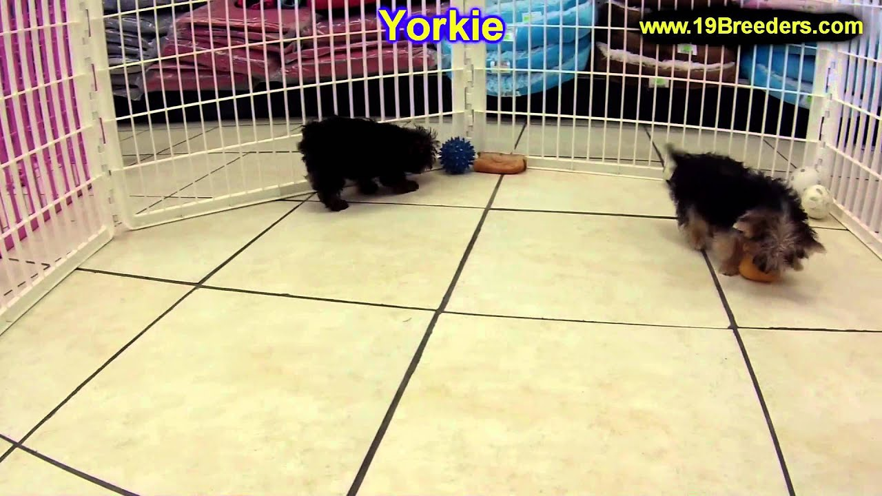 Yorkshire Terrier Puppies For Sale In Kansas City Missouri Mo