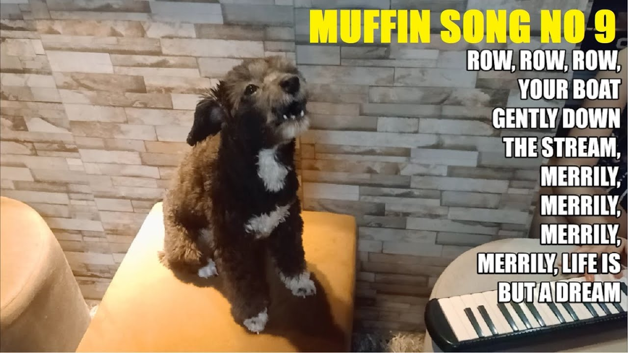 Muffin Song No 9 - Row Row Row Your Boat    Singing Dog   Shih Tzu Sings    Talented Dog