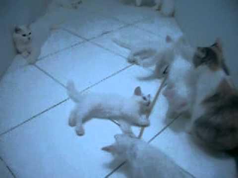 Persian Turkish Angora Kitten For Adoption 2 Months T Youtube