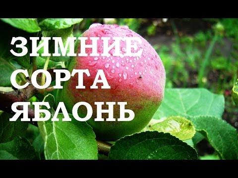 фото коштеля яблони сорт описание и