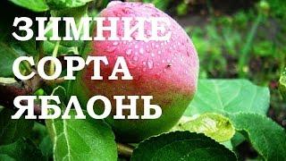видео Яблоня Имрус