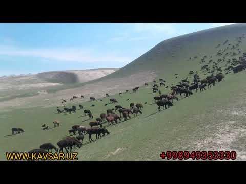 Гиссарские овцы Узбекистана. Сурхандарья Шурчи