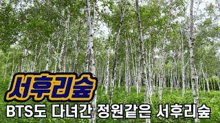 [양평 가볼만한곳#2] 자작나무 숲이 있는 양평 서후리…