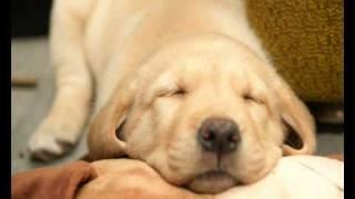 Labrador retriever puppy - photo - Maggie