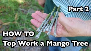 How to Top Work a Mango Tree- Part 2