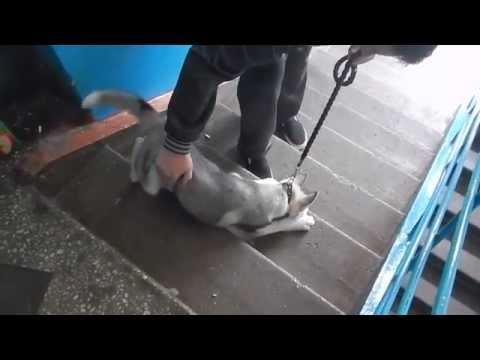 Хаски боится лестницы в подъезде
