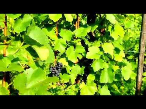 Blue Wine Grape Vineyard Farm in Europe