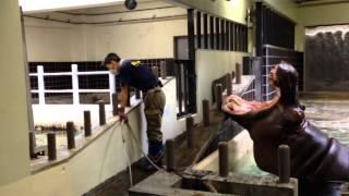 上野動物園のおねだり上手なカバのお口のお手入れをしている動画です。 ...