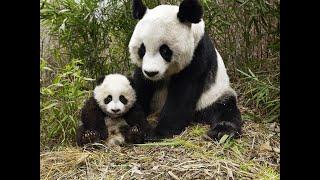 منوعات الآن | كيف يقاوم الباندا حر الصيف في حديقة الحيوان بكوريا الجنوبية؟