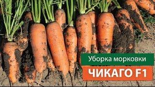Уборка моркови Чикаго F1(Процесс сбора урожая моркови Чикаго F1. Второй севооборот. Как видите, все корнеплоды один в один, ровные,..., 2015-11-20T14:36:58.000Z)