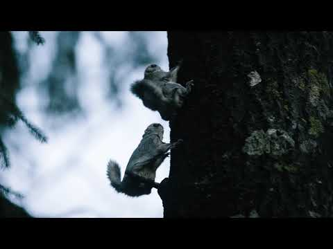 Liito-oravien parittelu