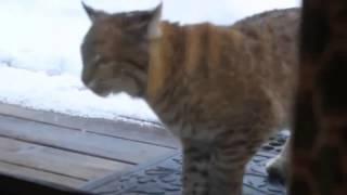 Кот и Рысь .Реакция кота на рысь