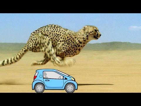 Wissensmix Warum Ist Der Gepard So Schnell? Youtube