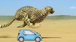 Wissensmix: Warum ist der Gepard so schnell?