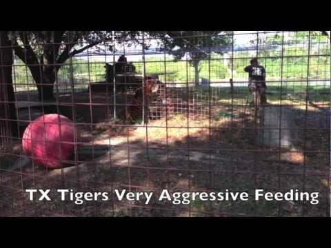 Tiger Feeding Time at Big Cat Rescue