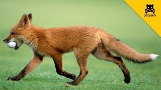 A Fox Steals A Man's Golf Ball And Has The Time Of His Life!