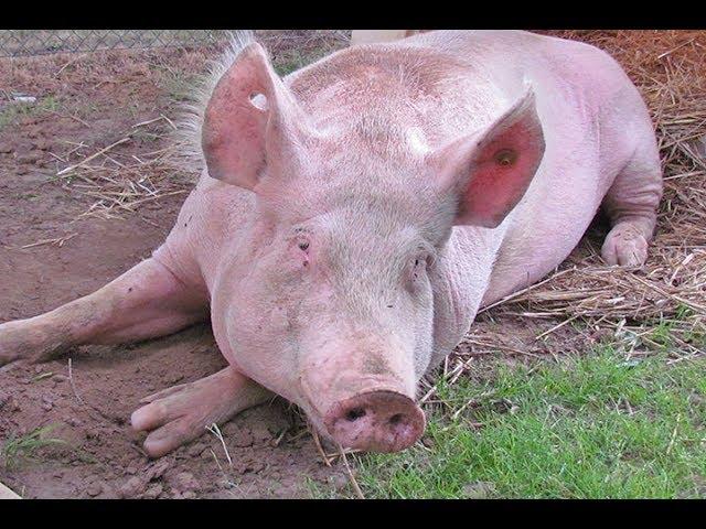 Petit cochon rose #Chansonpourenfants #pig #protectiondesanimaux