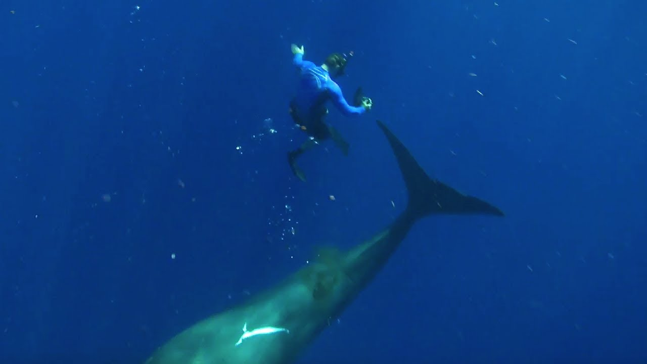 Swimming With Humpback Whales | Super Giant Animals | BBC