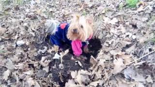 собака прикольно роет яму.mp4