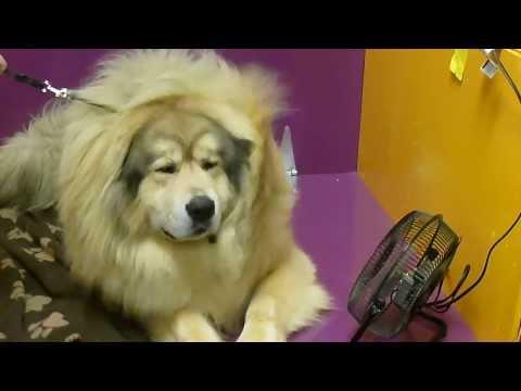 Sasha the Tibetan Mastiff, at Westminster Dog Show 2014