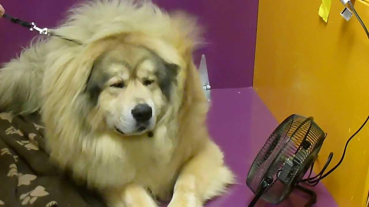 Mastiff Dog Show