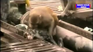 Monkey saves dying friend at India's Kanpur railway station: VIDEO