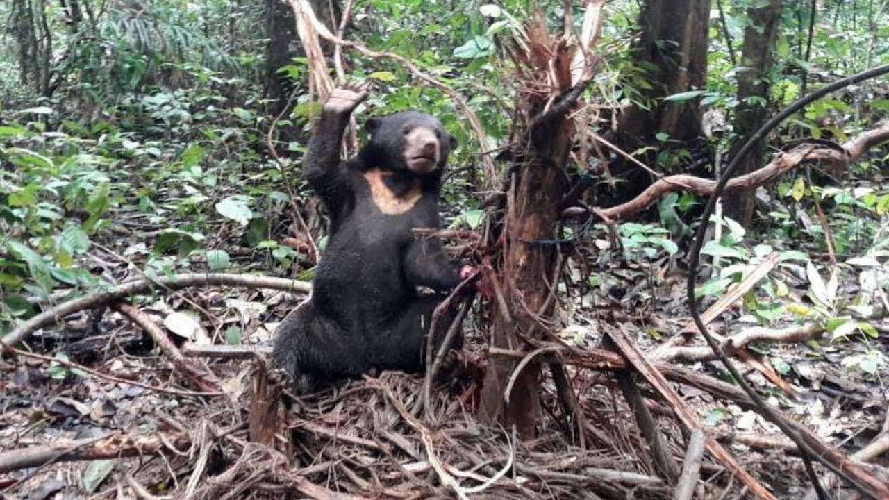 this-wild-bear-was-found-trapped-in-the-forest-and-she-was-desperately-trying-to-signal-for-help