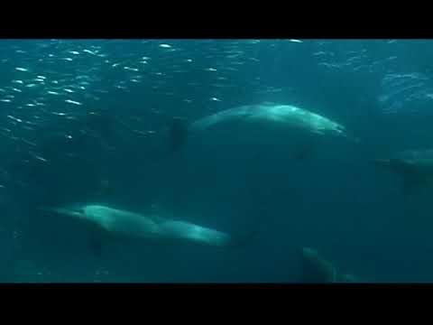Offshore Africa Port St John's sardine run