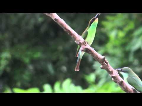 Bird Sounds -- BEE-EATERS