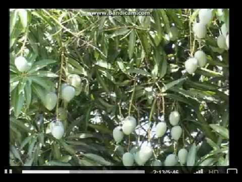 Manga (Mango) Song.
