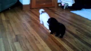 Japanese Chins/maltese Puppies Playing